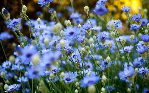 Васильки синего цвета