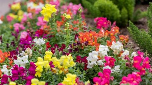 Цветки львиного зева