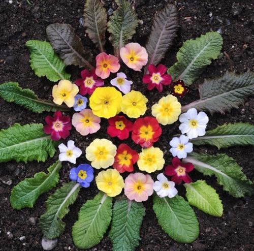 Разноцветная примула в саду