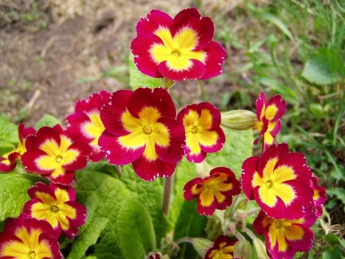 Красно-желтая садовая примула