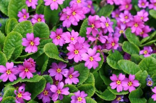 Фиолетовая примула в открытом грунте