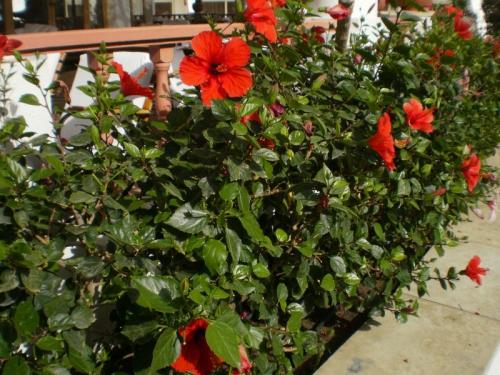 Красные цветки гибискуса