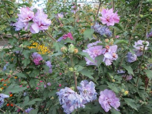Розовые и фиолетовые цветки гибискуса
