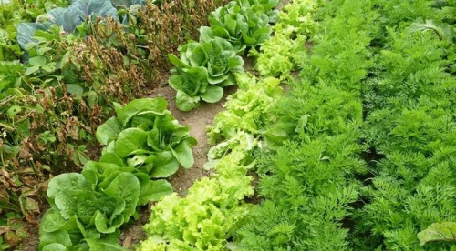 Растущий в огороде салат