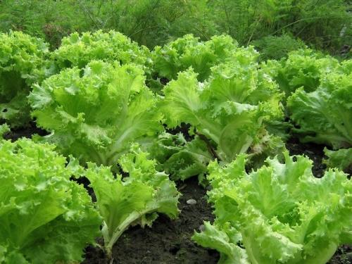 Салат зеленого цвета