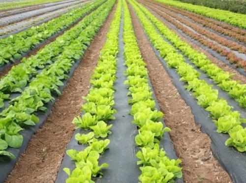 Ярко-зеленый салат в открытом грунте