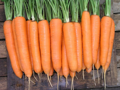 Морковь на даче