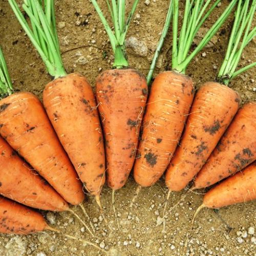 Выросшая на грядках морковь
