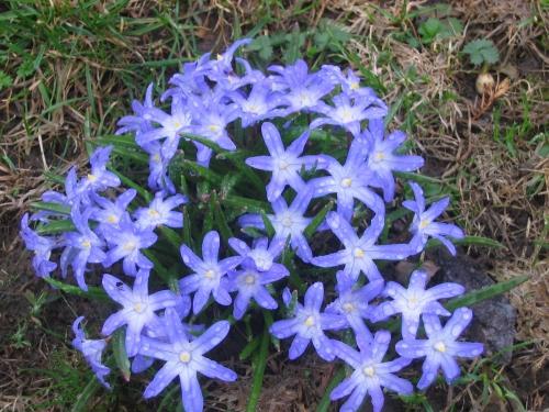 Фиолетовая хионодокса