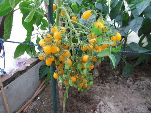 Гроздья помидор