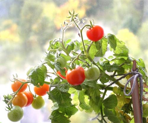 Поспевающий урожай