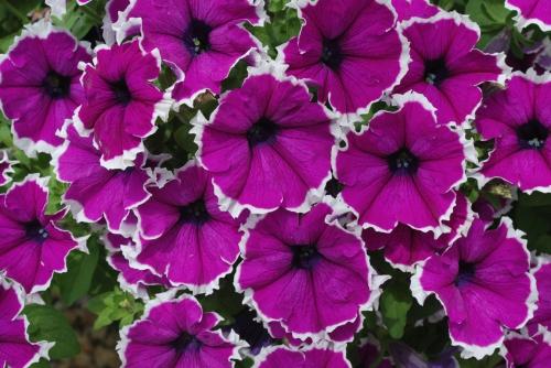 Петуния фиолетового цвета