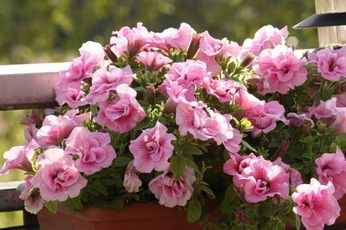 Петунии розового цвета
