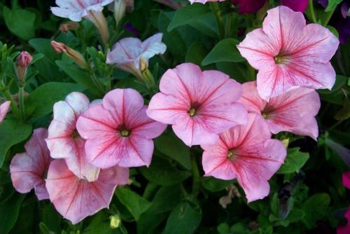 Розовые цветки петунии