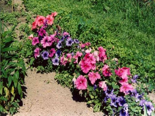 Цветки петунии разных цветов