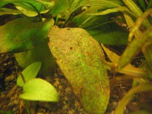 Коричневые водоросли на растениях