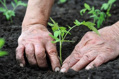 Подготовка рассады к посадке в грунт