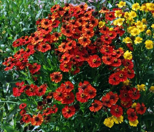 Оранжевые цветки гелениума