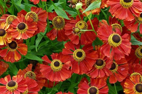 Рыжие цветки гелениума в открытом грунте