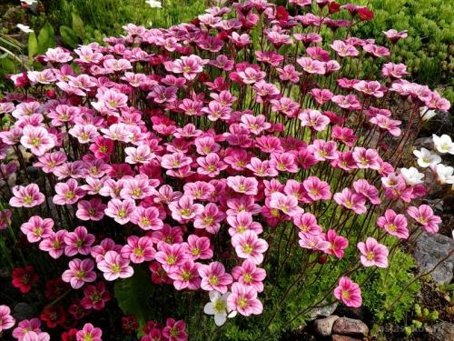 Розовые цветки камнеломки