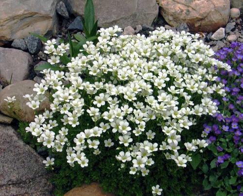 Белые цветки камнеломки