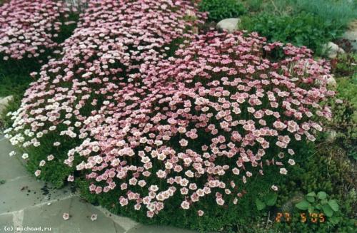 Розовая камнеломка