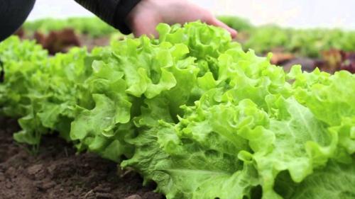 Салат в открытом грунте