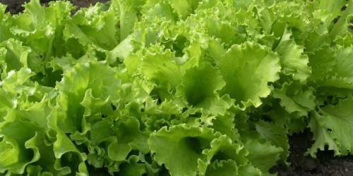 Растущая зелень в открытом грунте