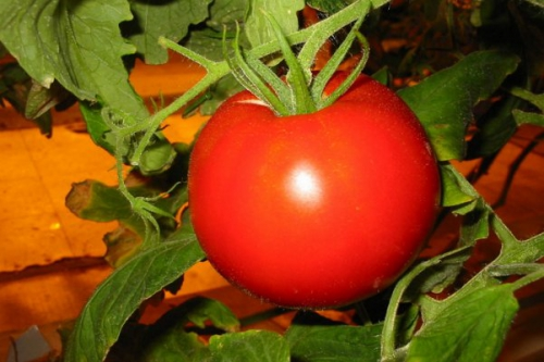 Созревший супер ранний томат