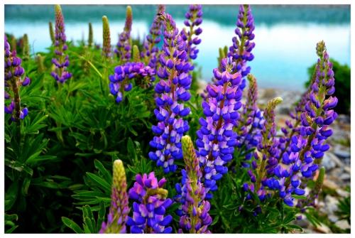 Фиолетовые цветки люпина