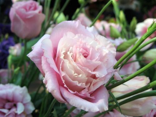 Розовая эустома в открытом грунте