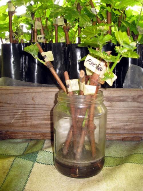 Растущие черенки винограда