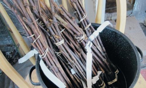 Черенки винограда, подготовленные для высадки в грунт
