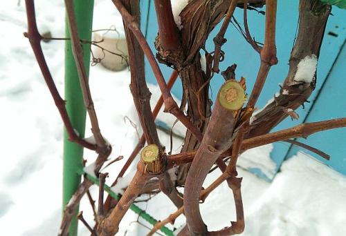 Виноградные черенки для высадки в грунт