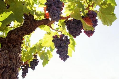 Растущий виноград на ветвях