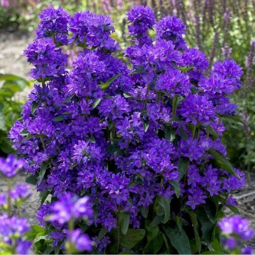 Фиолетовые колокольчики в открытом грунте