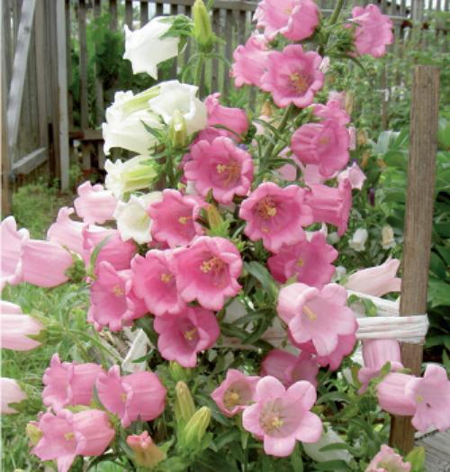Розово-белые колокольчики в открытом грунте