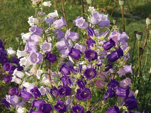 Фиолетовые и сиреневые колокольчики в открытом грунте