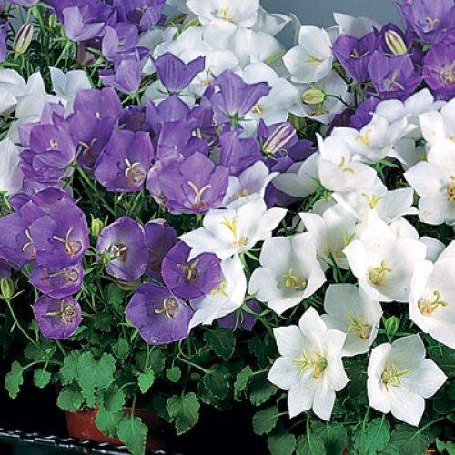 Белые и фиолетовые колокольчики в открытом грунте