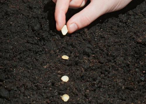 Как высаживать семена
