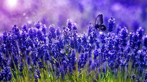 Лавандовые цветы фиолетового оттенка