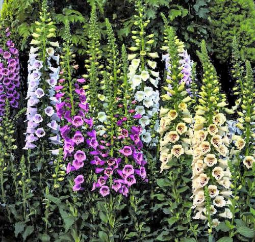 Фиолетовые, сиреневые и белые цветки наперстянки