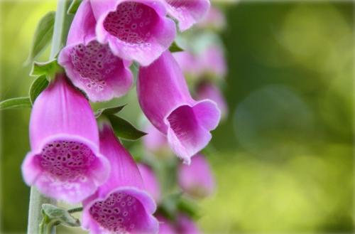 Фиолетовые цветки наперстянки