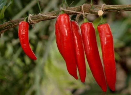 Растущий красный перец  в открытом грунте