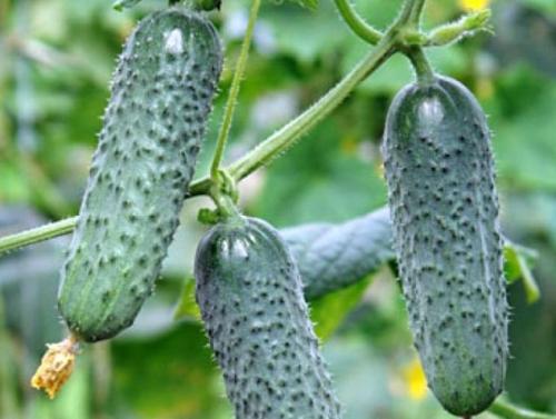 Огуречные завязи и плоды