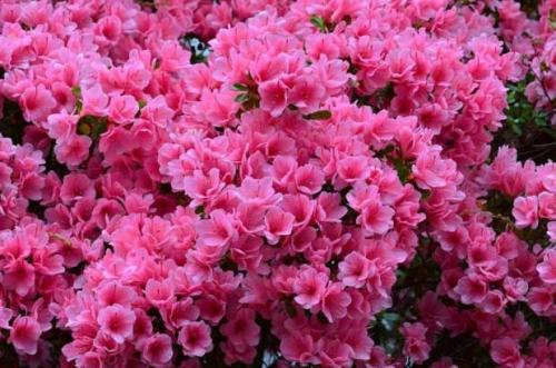 Розовая азалия в открытом грунте