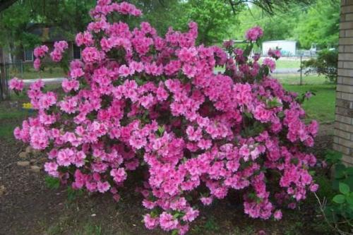 Розовая азалия в саду