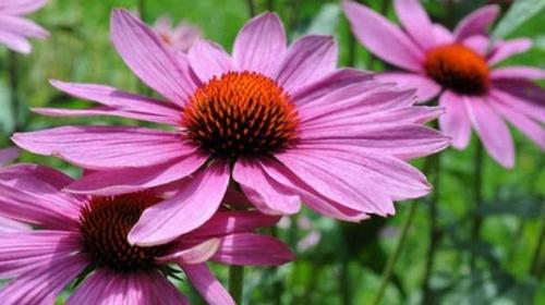 Розовый цветок эхинацеи