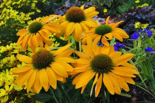 Желтые цветки эхинацеи