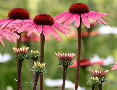 Цветы эхинацеи розовые